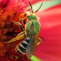 Metallic Green Bee - female
