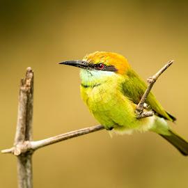 Bee Eater  by Surajit Dutta - Animals Birds ( bird, nature, wildlife, portrait, animal,  )