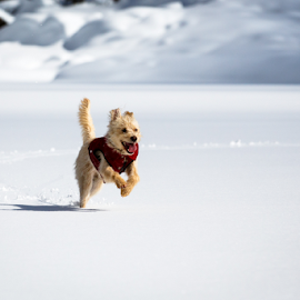 Sierra Snow by Paul Judy - Animals - Dogs Running ( sierra-nevada, lake alpine, california, snow, sierra )