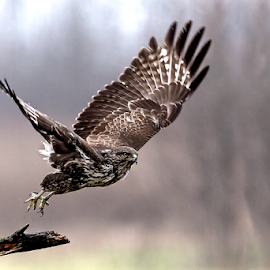 Buzzard by Alberto Carati - Animals Birds