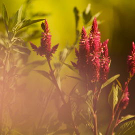 Sunset  by Katarina Vrhovac - Nature Up Close Leaves & Grasses ( red, nature, green, pink, sun, flower )