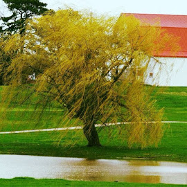 willow tree  by Linda Johnson - Landscapes Prairies, Meadows & Fields