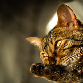 Selma by Adriaan Oosthuizen - Animals - Cats Portraits ( rampix photography, selma, pets, photography )