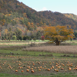 Pumpkins Forever by Veronica McCullough - Nature Up Close Gardens & Produce ( orange, pumpkins, leaves, north carolina, farm, field, mountains, autumn, fall, boone, trees, harvest, valle crucis,  )