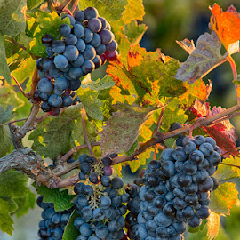 Nearly Wine Time by Tom Reiman - Nature Up Close Gardens & Produce ( wine, colorful, grapes, california, harvest )