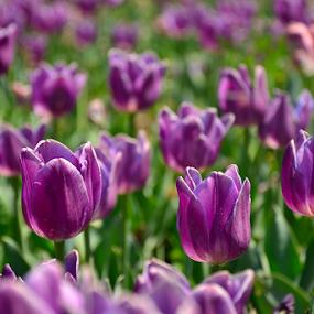 Tulips by Selçuk Özkan - Flowers Flowers in the Wild ( tulip, tulips, flowers, flower )
