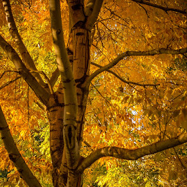 Golden Canopy by Coleen Sullivan - Nature Up Close Trees & Bushes ( canopy, nature, autumn, fall, yellow, gold, leaves )
