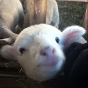 babby sheep(lamb)