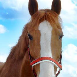 Farina by Christiane Baur - Animals Horses ( horseback, mare, chestnut, curious, red, riding, horse, halter )