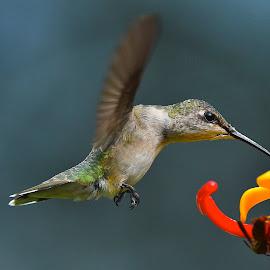 ZZZZZZZZZZ by Roy Walter - Animals Birds ( flight, animals, wings, hummingbird, wildlife, feathers, feeder )