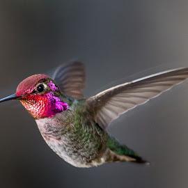 Hummingbird by Jim Malone - Animals Birds