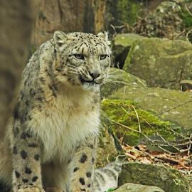 Smiling Snowleopard by Renée Politzer Nass - Animals Lions, Tigers & Big Cats ( big cat, zoo, leopard )