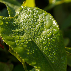 Dew Drops by Rajib Chatterjee - Nature Up Close Leaves & Grasses