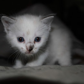 Misty's First Day Rescued  by Tammy Jones Perdue - Animals - Cats Kittens ( kitten, white, cute, young )