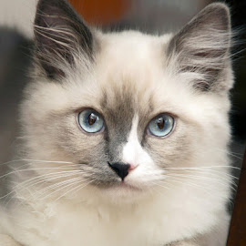 Stare Down by Luanne Bullard Everden - Animals - Cats Kittens ( cats, animals, pets, ragdolls, kittens )