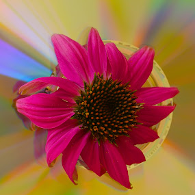 Cone Flower On A Compact Disc by Ed Hanson - Flowers Single Flower ( red, cone, close-up, flower, cd )