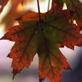 Call Maple Leaf by Diane Clontz - Novices Only Macro ( macro, vacation, fall colors, north east, maple leaf )