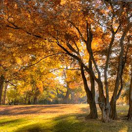 Maple Grove, Fall by Jim Salvas - City,  Street & Park  City Parks ( japanese maples, maples, fall, trees, sunrise, sunlight, grove )