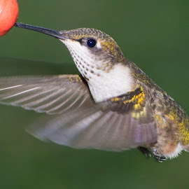 Female Ruby-Throated Hummer by Jennifer McWhirt - Animals Birds ( birds flying, animals, photographybyjenmcwhirt.com, tennessee, hummers, birds )