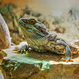 Alex by Dalibor Jud - Animals Reptiles ( vitticeps, bradata, headshot, lizard, spikes, agama, portrait, pogona )
