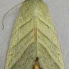 Subflexus Straw Moth