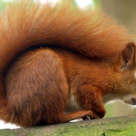 Squirrel by Garry Chisholm - Animals Other Mammals ( red, chishom, nature, wildlife, rodent, garry, squirrel )