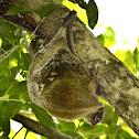 Sunda Flying Lemur with Baby