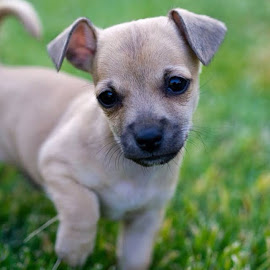 by Scott Zinda - Animals - Dogs Puppies ( ichihuahua, chihuahua )