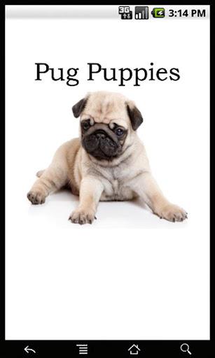 Pug Puppies