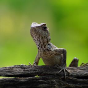 Garden lizard by Yogesh Kumar - Animals Reptiles ( lizard, wood, green, garden, eyes )