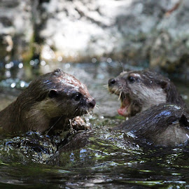 Otters by Fred Regalado - Novices Only Wildlife