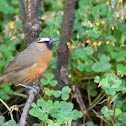 Nilgiri Laughing Thrush
