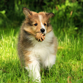 by Jane Bjerkli - Animals - Dogs Playing ( playing, pet, shetland sheepdog, summer, dog, sheltie, norway, animal )