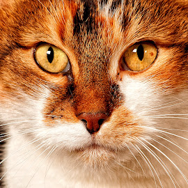 Speckle by John Phielix - Animals - Cats Portraits ( cat, pet, whiskers, eyes, animal,  )