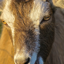 Gabby Goat by Barbara Brock - Animals Other Mammals ( goat head, goat, farm animal, goat face, herd animal )