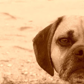 jennings posing on lewes beach by Tammy Hardy - Animals - Dogs Portraits