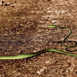 Common green snake by Parth Mohan - Animals Reptiles ( noordhoek, south africa, noordhoekchallenge )