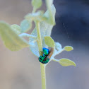 California Cuckoo Wasp