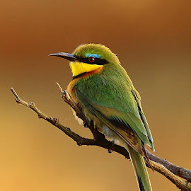 Waiting for a bee by Chris Krog - Animals Birds ( pussilus, little, merops, bee-eater )