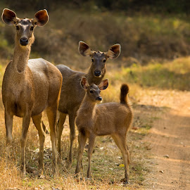 by Dwaipayan Ghosh - Animals Other Mammals ( sambar female and immature, deer, animal )