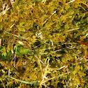 Moss/P. Sheberi
