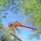 Autumn Meadowhawk - male
