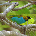 Gilt-edged Tanager