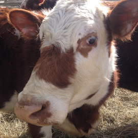 Moooo by Carrie Bergles - Animals Other ( farm, barn, pet, cow, animal )