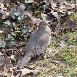 Dove by Marcia Taylor - Novices Only Wildlife (  )