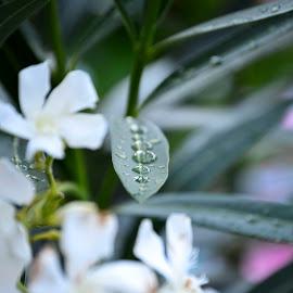 by Claudel Lamoureux-Duquette - Novices Only Flowers & Plants ( montreal, white flower, flowergraphy, summer, raindrops, garden, flower )