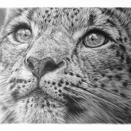 Snow Leopard by Karen Phillips - Drawing All Drawing ( pencil, black and white, wildlife, leopard, animal )