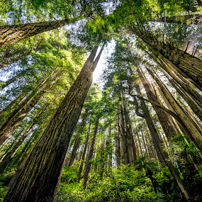 Redwoods by Heather Allen - Landscapes Forests ( , renewal, green, trees, forests, nature, natural, scenic, relaxing, meditation, the mood factory, mood, emotions, jade, revive, inspirational, earthly )