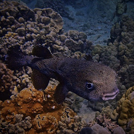 A giant male porcupine fish by Tatiana Gonnason - Animals Fish