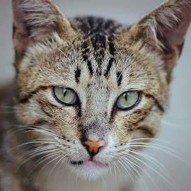 Little Tiger by Wei Fuk Lie - Animals - Cats Portraits ( cat, portrait )